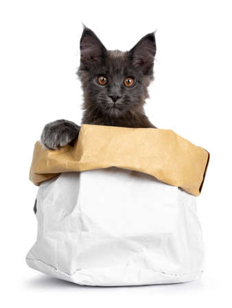 Very cute solid blue Maine Coon cat kitten sitting in paper bag with paw on the edge and looking straight into camera, isolated on white background