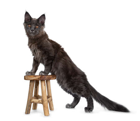 Very cute solid blue Maine Coon cat kitten standing side ways with front paws on little wooden stool, looking at camera isolated on white background Stockfoto