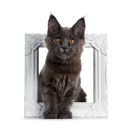Very cute solid blue coon cat kitten sitting through a white picture frame, looking at camera isolated on white background