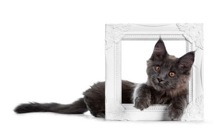 Very cute solid blue Maine Coon cat kitten laying down side ways with paws and head sticking through a white picture frame, looking at camera isolated on white background