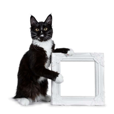 Black and white Maine Coon cat sitting and holding a white photo frame, looking at lens isolated on white background