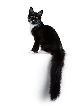 Black and white coon cat kitten sitting side ways with tail hanging down over edge, looking at lens isolated on white background