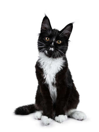 Black and white Maine Coon cat sitting on camera looking at camera isolated on white background Stockfoto