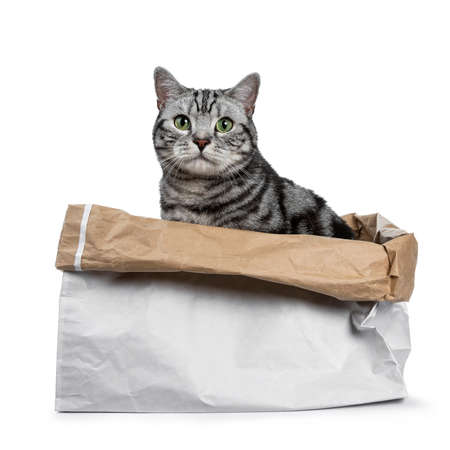 Cute black silver tabby British Shorthair sitting in rolled down paper bag looking over edge straight into camera, isolated on white background