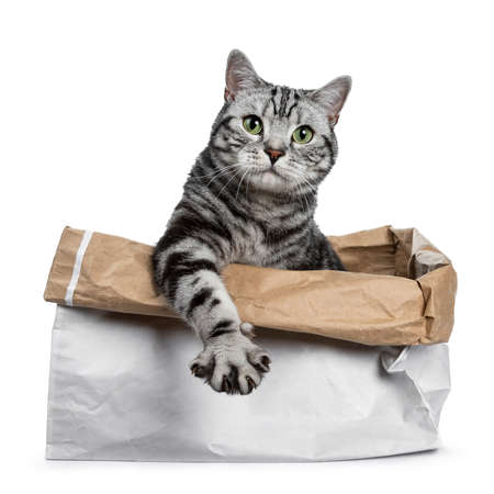 Cute black silver tabby British Shorthair sitting in rolled down paper bag looking over edge straight into camera, isolated on white background with paw stretched over edge