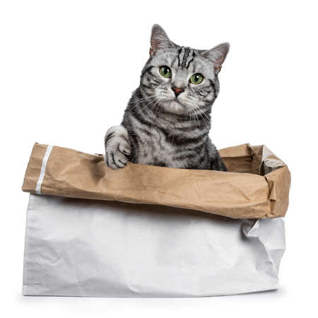 Cute black silver tabby British Shorthair sitting in rolled down paper bag looking over edge straight into camera, isolated on white background with paw lifted over edge Stockfoto