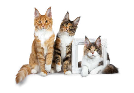Row of three Maine Coon cat kittens, two sitting and laying over a white picture frame, all looking straight into lens isolated on white background
