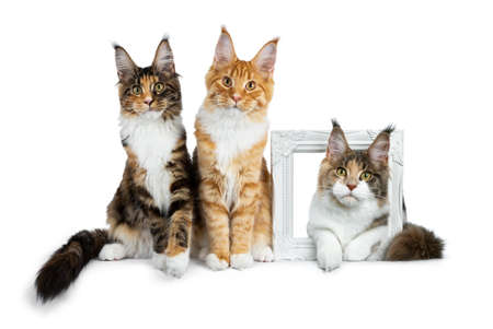 Row of three Maine Coon cat kittens, two sitting and laying on a white photoframe, all looking straight into camera isolated on white background