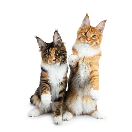 Two playing Maine Coon cat kittens sitting up, one on hind paws, the other one with one paw in air and sticking tongue out, both looking straight into camera isolated on white background Stockfoto