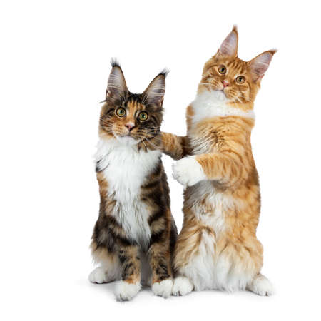 Two funny Maine Coon cat kittens sitting playful next to each other, one on hind paws hugging the other, isolated on white background