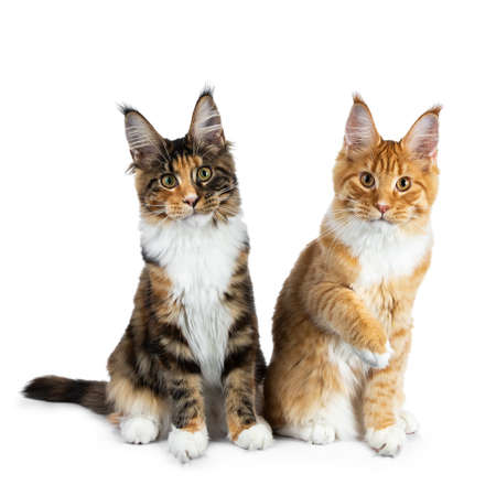 Two playing Maine Coon cat kittens sitting up, one with one paw in air, both looking straight into camera isolated on white background
