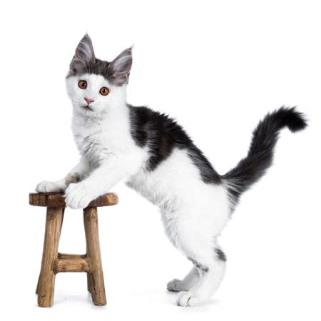 Funny and very expressive white with blue maine coon cat kitten standing side ways with front paws on a little wooden stool, looking curious straight at lens, isolated on white background