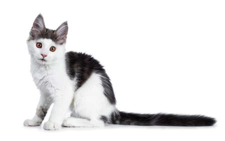 Funny and very expressive white with blue maine coon cat sitting on kitten sitting side ways looking straight at lens, isolated on white background Stockfoto