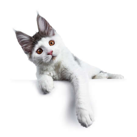 Funny and very expressive white with blue maine coon cat kitten laying down with head tilted and paws hanging over edge, looking curious straight at lens, isolated on white background