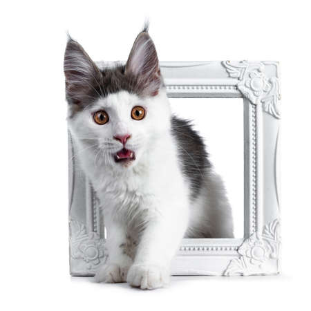 Funny and very expressive white with blue maine coon cat kitten standing through a white photo frame looking very surprised with open mouth straight at lens Stockfoto