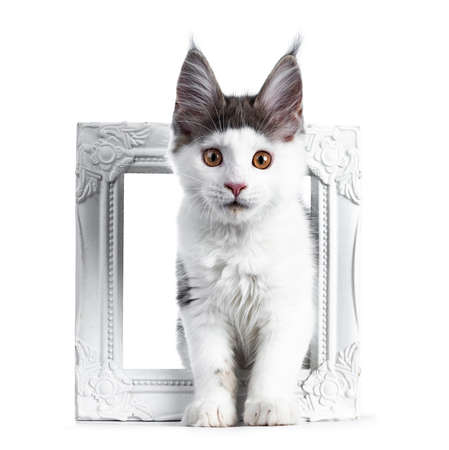unny and very expressive white with blue maine coon cat kitten standing through a white photo frame looking straight at lens Stockfoto