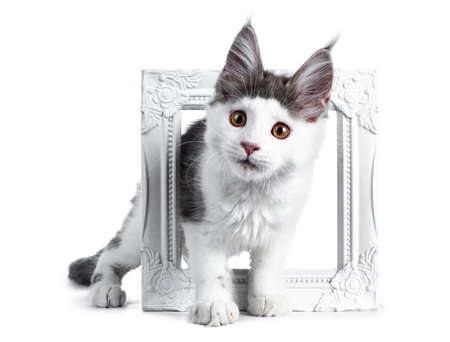 Funny and very expressive white with blue maine coon cat kitten standing through a white photo frame looking very curious straight at lens