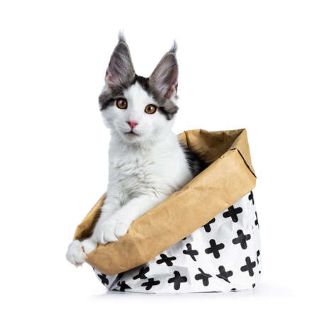 Cute white with blue tabby harlequin maine coon cat kitten sitting side ways in a white with brown paper bag decorated with black crosses, looking straight into camera, isolated on white background