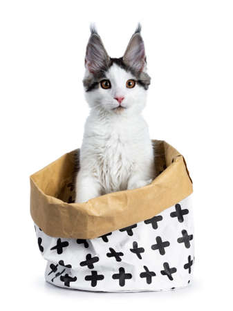 Cute white with blue tabby harlequin maine coon cat sitting in a white with brown paper bag decorated with black crosses, looking straight into camera, isolated on white background