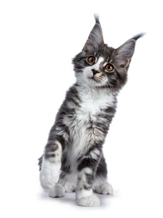 Super cute blue tabby with white coon cat kitten sitting with front paw lifted  playing, looking up isolated on white background