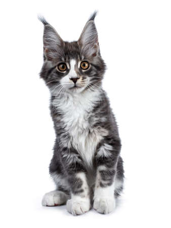 Super cute blue tabby with white coon cat kitten sitting facing camera, looking curious straight in lens isolated on white background