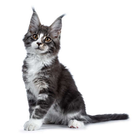 Super cute blue tabby with white coon cat kitten sitting side ways, looking to the side isolated on white background