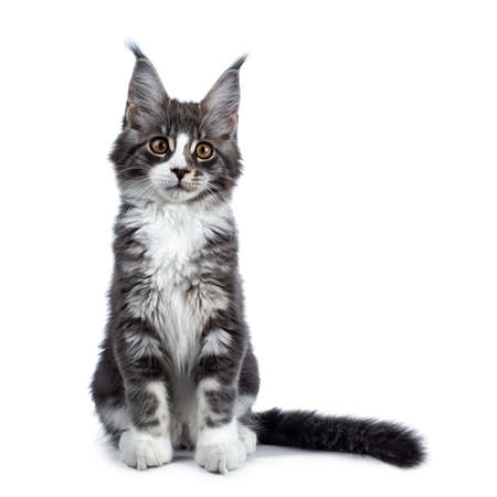 Super cute blue tabby with white coon cat kitten sitting facing front side with long tail, looking straight into camera isolated on white background Stockfoto