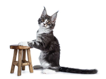 Super cute blue tabby with white coon cat kitten sitting sideways with front paws on a little wooden chair looking straight into camera isolated on white background