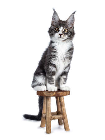 Super cute blue tabby with white coon cat kitten sitting on a white wooden chair looking straight into camera isolated on white background Stockfoto