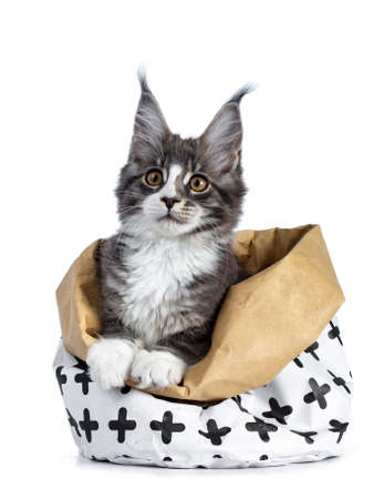 Super cute blue tabby with white coon cat kitten sitting in paper bag decorated with black cross pattern with front paws on edge of thbag, isolated on white background