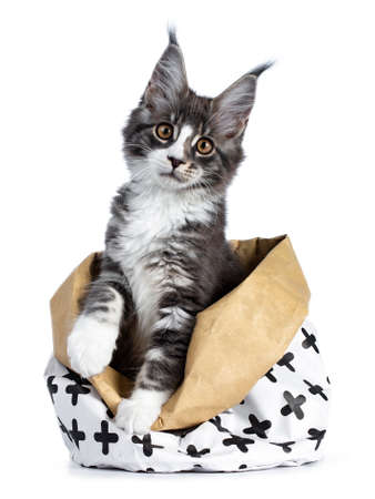Super cute blue tabby with white coon cat kitten sitting in paper bag decorated with black cross pattern with front paws out of bag, looking straight into camera isolated on white background