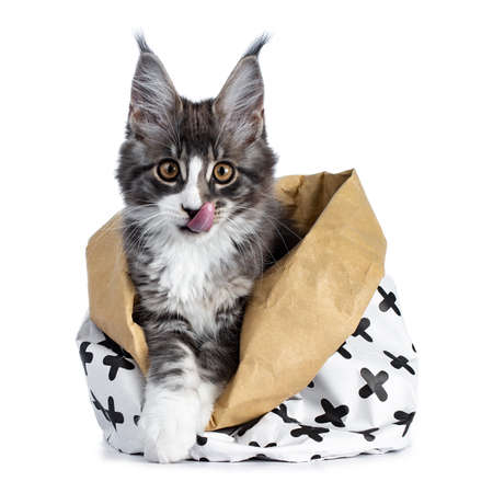 Super cute blue tabby with white coon cat kitten sitting in paper bag sticking out tongue looking straight into camera isolated on white background Stockfoto