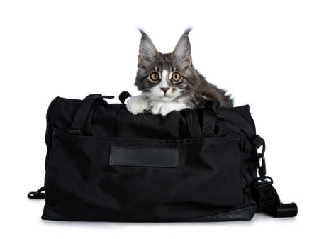 Super cute blue tabby with white coon cat kitten sitting in black sport bag decorated with black cross pattern with front paws out of bag, looking straight into camera isolated on white background