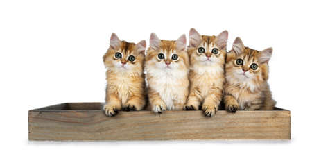 Row of four golden british longhair cat kittens sitting in a wooden tray, looking straight into the camera with big green eyes, isolated on a white background