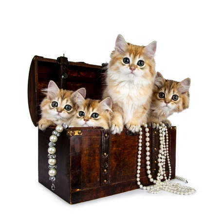Four super sweet golden British Longhair cat sitting in brown wooden box with pearl necklaces, looking straight into the camera with big green eyes, isolated on white background Stockfoto