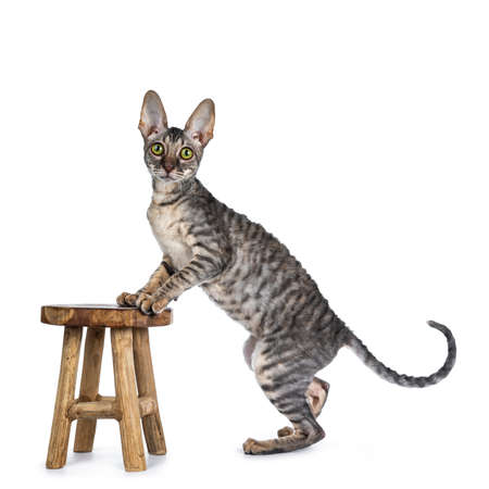 Blue tortie tabby Cornish Rex kitten standing side ways with front paws on little brown wooden stool, looking at camera isolated on white background