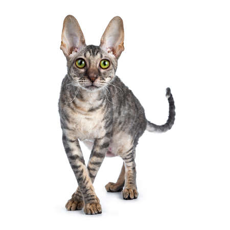 Blue tortie tabby Cornish Rex kitten walking  standing front view white front paws crossed like ballerina, looking at camera isolated on white background Stock fotó