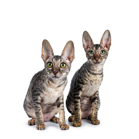 Duo or two cute Cornish Rex cat kittens sitting behind each other looking up, isolated on white background