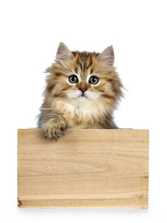 Adorable golden british longhair cat sitting in front of a camera, looking at camera, isolated on white background and one paw on edge Stockfoto
