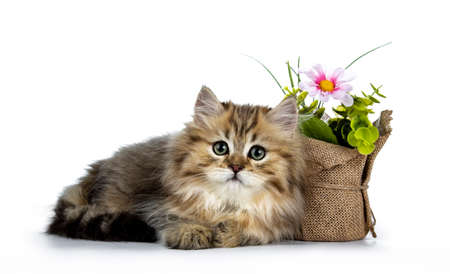 Adorable golden british longhair cat laying down side ways next to pot of fake flowers, looking at lens isolated on white background