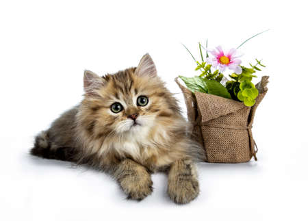 Adorable golden british longhair cat kitten laying down side ways next to spring fake flowers with paws over edge, looking at lens isolated on white background Stockfoto