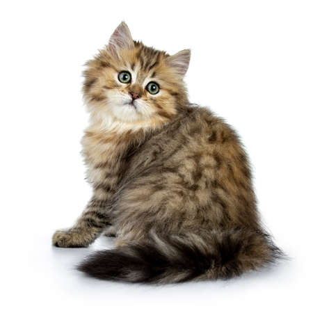 Adorable golden british longhair cat kitten sitting backwards, looking over shoulder straight into camera isolated on white background