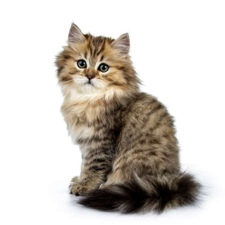 Adorable golden british longhair cat sitting on kitten, looking straight at lens isolated on white background