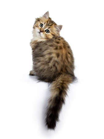 Adorable golden british longhair cat sitting backwards with tail hanging down from edge, looking over shoulder straight into camera isolated on white background