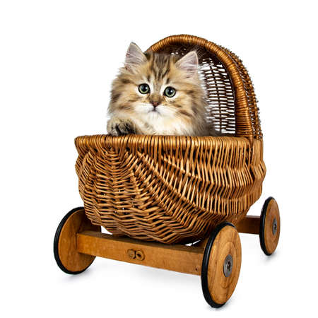 Adorable golden british longhair cat sitting in brown stroller with one paw over edge, looking straight into camera isolated on white background Stockfoto
