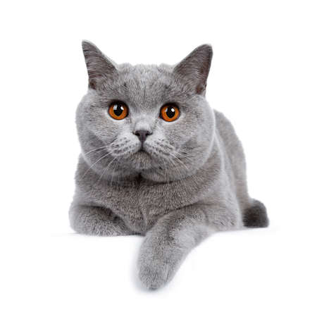 Sweet young adult British Shorthair cat kitten laying down front view, looking at camera with orange eyes and one paw hanging over edge, isolated on white background Stockfoto