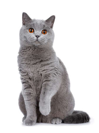 Sweet young adult solid blue British Shorthair cat sitting down front view, looking at camera with orange eyes and one paw lifted, isolated on white background