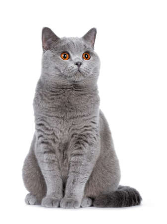 Sweet young adult solid blue British Shorthair cat sitting on the couch, looking at the side with orange eyes, isolated on white background