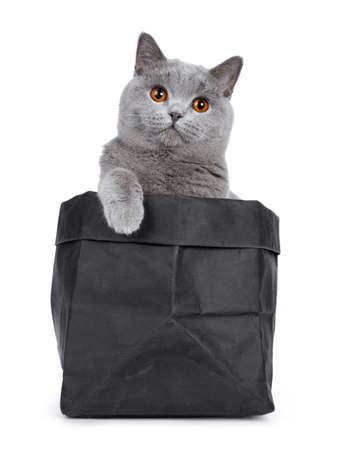 Sweet young adult solid blue British Shorthair cat sitting in black paper bag with one paw on edge, looking up with orange eyes straight in lens, isolated on white background Stockfoto