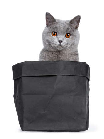 Sweet young adult solid blue British Shorthair cat sitting in black paper bag, looking over edge with orange eyes straight in lens, isolated on white background Stockfoto